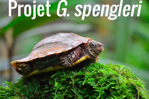 Projet G. spengleri