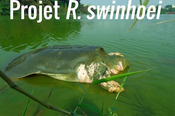 Projet R. swinhoei