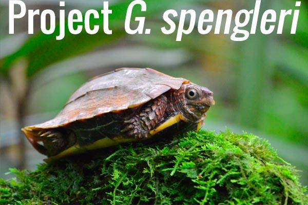 Project G. spengleri