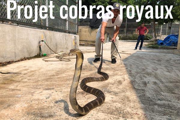 Projet cobras royaux